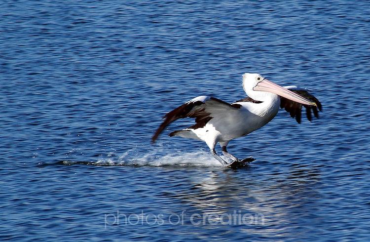 The Pelican has Landed. Australian Pelican - pelicanus conspicillatus
