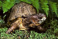 1R40-062x  Eastern Box Turtle - Terrapene carolina