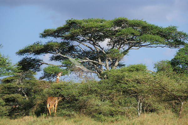 Masai Giraffe feeding on an acacia tree.  Serengeti National Park, Tanzania.