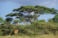 Masai Giraffe feeding on an acacia tree.  Serengeti National Park, Tanzania.