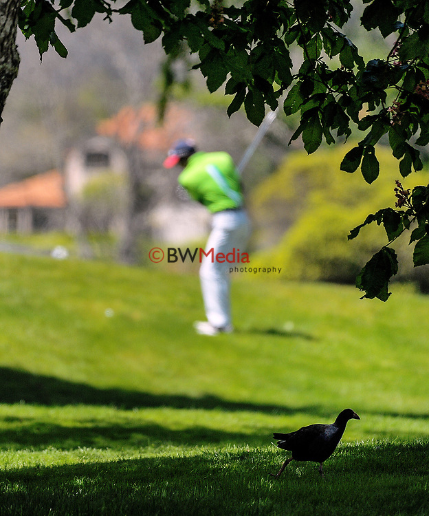 A pukeko runs for cover on day one of the 2017 Asia-Pacific Amateur Championship day one at Royal Wellington Golf Club in Wellington, New Zealand on Thursday, 26 October 2017. Photo: Dave Lintott / lintottphoto.co.nz