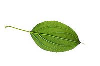 Echter Kreuzdorn, Purgier-Kreuzdorn, Rhamnus cathartica, Rhamnus catharticus, Common Buckthorn, European Buckthorn, Le Nerprun purgatif, Nerprun cathartique, Nerprun officinal. Blatt, Blätter, leaf, leaves