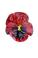 Pansy flower close up with rain drops - Viola Premier Red w Blotch