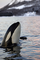 Spyhopping killer whale calf closeup