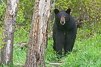 Black Bear mother standing near the edge of a forest