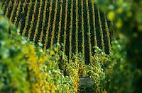 Europe/France/Alsace/68/Haut-Rhin/Turckheim : Le vignoble