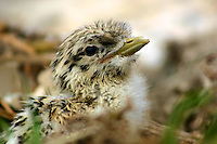 Crested Tern Chick on the Five Islands at the New South Wales South Coast and Coastal Island bird surveys