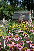 Summer flower perennial garden with Native plant garden: Echinacea purpurea purple coneflowers, Heliopsis, Phlox paniculata, Veronicastrum virginicum, barn shed, garage, blue sky on sunny day, picket fence, in lush bloom, attracts pollinators