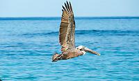 Pelican<br /> Virgin Islands
