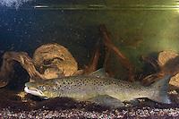 Baltischer Lachs, Atlantischer Lachs, Ostsee-Lachs, Männchen mit Laichhaken, Salm, Salmo salar, Baltic salmon, Atlantic salmon