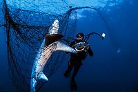 pelagic thresher shark, Alopias pelagicus, in drift gill net, Sea of Cortez, Mexico, Pacific Ocean, shark fishing