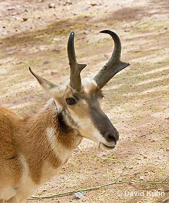 0606-1101  Pronghorn (Prong Buck) in Sonoran Desert, Antilocapra americana  © David Kuhn/Dwight Kuhn Photography