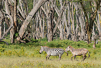 Two Grant's Zebras, Equus quagga boehmi, run in Lake Nakuru National Park, Kenya