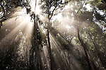 Sunshine penetrates a foggy forest in the Nam Ha Protected Area in Luang Namtha, Laos on Novemeber 9, 2009.   (Photo by Khampha Bouaphanh)