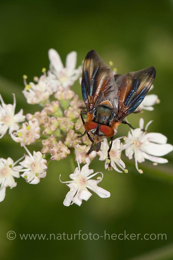 Raupenfliege, Wanzenfliege, Männchen, Blütenbesuch, Phasia hemiptera, Alophora hemiptera, Raupenfliegen, Schmarotzerfliegen, Tachinidae, tachinids, parasitic flies