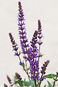 Salvia nemorosa 'Wesuwe'. Sometimes known as Balkan clary.