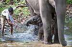 Baby domestic Asian Elephant (Elephas maximus) - 2 months old - bathing with mother. Bandhavgarh National Park, India.