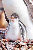 Adult Gentoo penguin (Pygoscelis papua) with chick in Antarctica. The Gentoo Penguin is one of three species in the genus Pygoscelis. It is the third largest of all penguins worldwide, with adult Gentoos reach a height of 51 to 90 cm (20-36 in).There are an estimated 80,000 breeding gentoo penguin pairs in the Antarctic peninsula area with a total population estimate of around 314,000 breeding pairs in all of Antarctica.