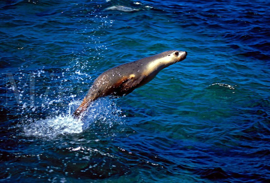Australian sea lions, Neophoca cinerea, move like torpedos underwater, and occasionally launch themselves into the air. South Australia.