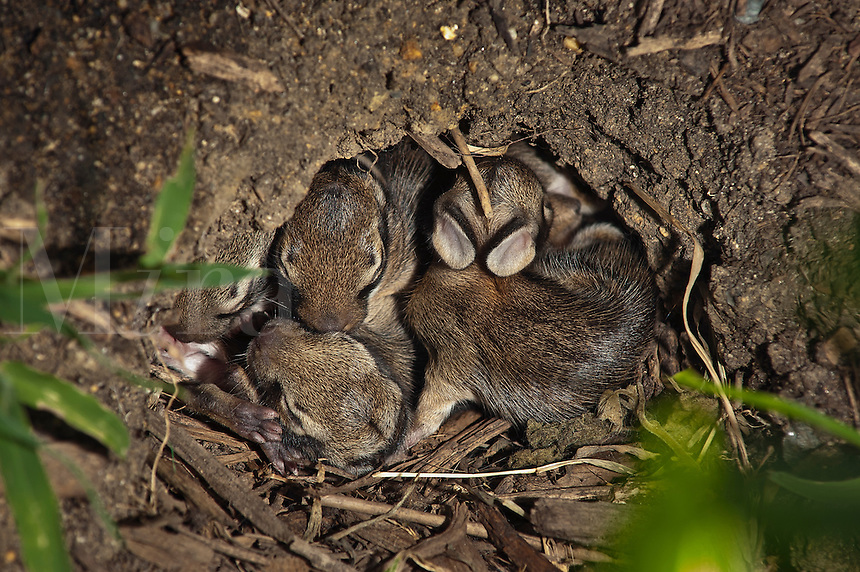 Young rabbits sleeping in a hole, NJ, New Jersey, USA