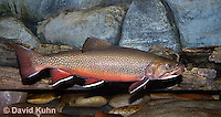 """1212-0905  Eastern Brook trout, Salvelinus fontinalis (formerly Salmo trutta fario) """"from New England, United States""""  © David Kuhn/Dwight Kuhn Photography"""