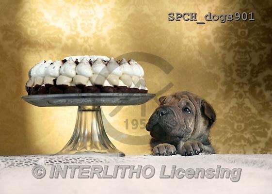Xavier, ANIMALS, REALISTISCHE TIERE, ANIMALES REALISTICOS, dogs, photos+++++,SPCHDOGS901,#A#