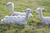 SWEDEN, sheared Alpaka, Vicugna pacos, camel from south-american Andes / SCHWEDEN, Alpaka Kamel, Vicugna pacos, auch Pako, ist eine aus den südamerikanischen Anden stammende, domestizierte Kamelform, die vorwiegend wegen ihrer Wolle gezüchtet wird
