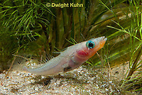 1S30-543z  Male Threespine Stickleback,  Mating colors showing bright red belly and blue eyes, gluing nest together with secretions from kidneys, Gasterosteus aculeatus,  Hotel Lake British Columbia