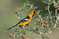 Hooded Oriole (Icterus cucullatus), male singing, Laredo, Webb County, South Texas, USA