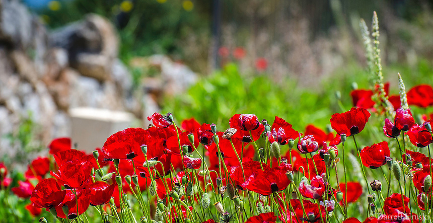 Landscape Photograph. Beautiful translucent red Poppy flowers line the ancient ruins of Ephesus in Kusadasi, Turkey.