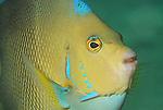 Blue Angelfish, Holacanthus bermudensis, Blue Heron Bridge; Lake Worth Inlet; Florida; USA; Amazing Underwater Photography; Marine behavior