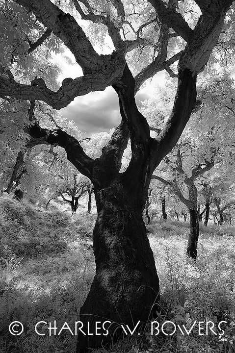 Cork Tree in Sicily. Abandon cork forests due to cork being replaced by plastic. Magnificent old cork tree image. Infrared capture.<br /> <br /> -Limited Edition of 50 Prints