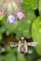Pelzbiene, Gemeine Pelzbiene, Pelz-Biene, Frühlings-Pelzbiene, Frühlingspelzbiene, Flug, fliegend, Blütenbesuch an Lungenkraut, Anthophora plumipes, Anthophora acervorum, hairy-footed flower bee, common Central European flower bee, European flower bee, flower bee, flying, flight, l'Anthophore aux pattes poilues