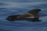 short finned pilot whale, Globicephala macrorhynchus, Azores Islands, Portugal, North Atlantic