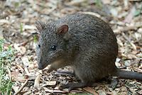 Potoroo at Cleland Wildlife Park, Adelaide, South Australia.