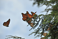 Monarchs gathering for their flight way down south