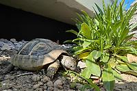 Griechische Landschildkröte - Büttelborn 22.04.2021: Griechische Landschildkröte