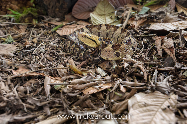 Adult Jumping Viper (Atropoides mexicanus)(formerly A. nummifer) (Viperidae: Crotalinae) camouflaged amongst leaf litter on the rain forest floor. Pacific slope, Costa Rica, Central America. (highly venomous)