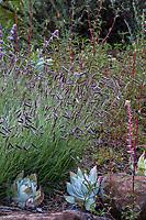 Bouteloua gracilis, Blue Grama grass (mosquito grass) flowering California native grass in Regional Parks Botanic Garden, Berkeley, California