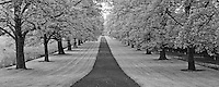 Maple tree lined drive.