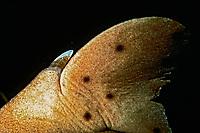 dorsal fin of horn shark, Heterodontus francisci, showing defensive spine, California, USA, Pacific Ocean