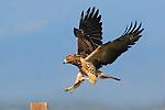 Juvenile Swainson's Hawk with Mouse