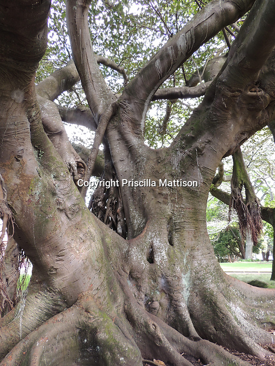 Auckland, New Zealand - September 18, 2012:  Trunk of a Moreton Bay Fig tree in Albert Park.