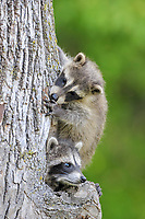 Common Raccoon (Procyon lotor), two young, at den entrance in tree trunk, Minnesota, USA, North America