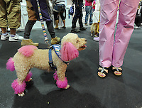 Amee dies pink matches its owners trousers at the Osaka Pet Expo fashion show held from 23rd till 25th September 2011, Japan.<br /> <br /> Photo by Richard Jones