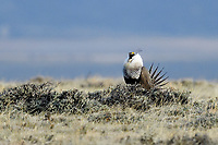 Greater Sage-Grouse, Colorado