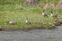 Canada geese families (Branta canadensis).  Western U.S., June.  Note: There are two families of geese in this photo with different age goslings.