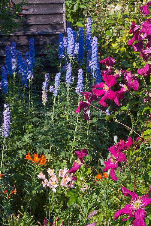 Clematis, Delphinium, Alstromeria, for combination of different types of plants: climbing vine, summer bulb, blue flowered perennial