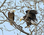 Kansas Bald Eagles