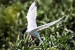 Endangered Roseate tern in flight.